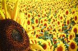 Fantastic sunflowers