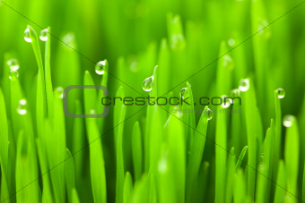 Fresh green wheat grass with drops dew / macro background