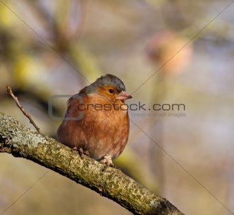Chaffinch in Sunlight