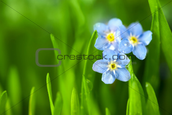 Three Forget-me-not Blue Flowers into Green Grass / Macro