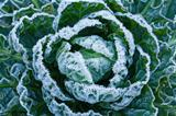 Frost on Brussels Sprouts