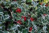 Frost on Holly Hedge