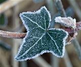Frost on Ivy Leaf
