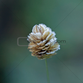 Frost on Grass Seed Head