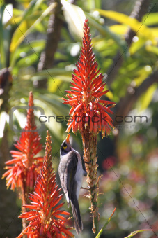 Australian bird feeding on a flower