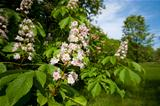 blooming horse chestnut tree