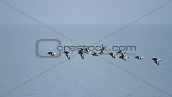 Oystercatchers Flying