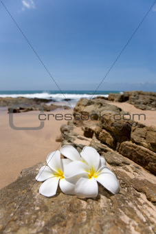 Delicate white frangipani (plumeria) spa flowers on rough stone