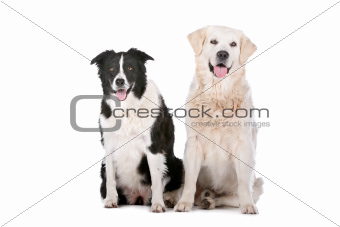 Golden Retriever and a border collie