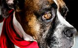 Red Scarf Boxer