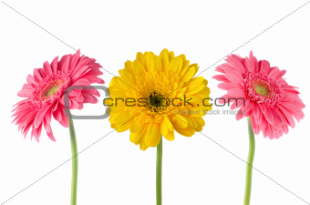 Set of 3 gerberas
