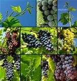 grapes collection