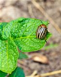 This is colorado beetle on leaf. It is theme of agriculture.