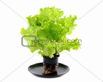 Green salad in a pot.