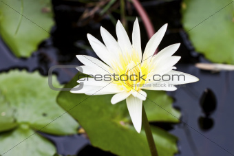 Bright yellow lotus
