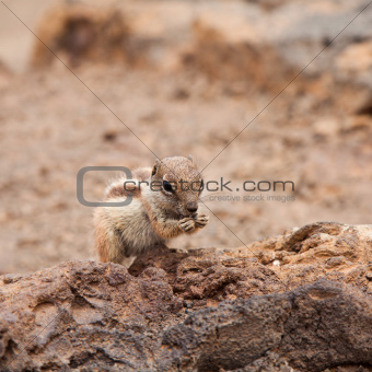 Atlantoxerus getulus, Barbary Ground Squirrel