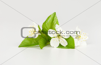 pear tree flower