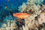 Coral grouper on a coral reef