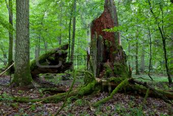 Green young hornbeam tree and brokrn oak tree trunk