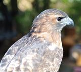 a Hawk , close up