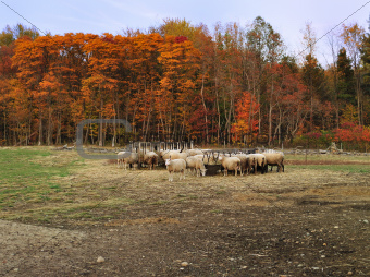 autumn in a sheep farm