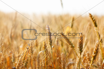 Ripening spikelets of wheat field in the bright sunlight