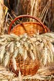Ripe spikelets of wheat in basket against natural background