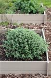 Mint Growing in a Garden Bed