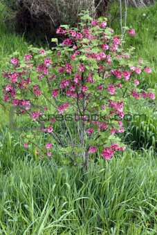 Red Pink Flowering Currant