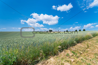 country wheat field