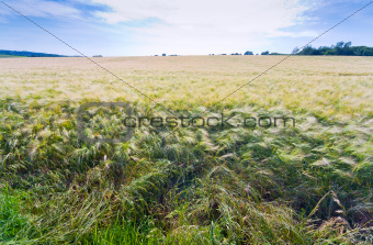 country barley field