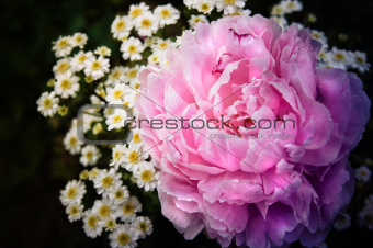 Pink peony and chrysanthemum flowers