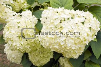 Hydrangea macrophylla (white Hortensia)