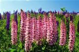 Pink Lupin in full bloom