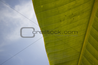 Large banana leaf with a cloudy blue sky