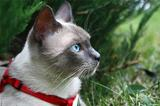 Seal point siamese cat on a leash outdoors