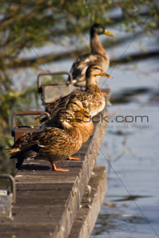 Landing-stage with four wild ducks in summer