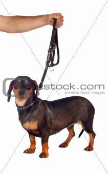 Beautiful dog teckel