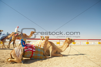 Robot camel racing
