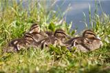 Baby ducks