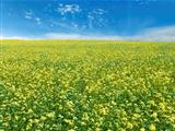 rape field and sky