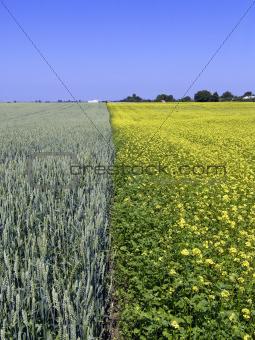 wheat and rape field