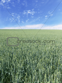wheat field vertical