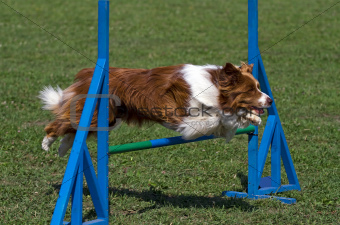 Brown border collie jumps hurdles
