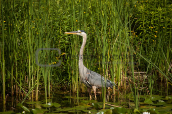 Great Blue Heron in a Pond