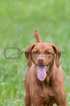 Happy Looking Vizsla Dog in a Green Field