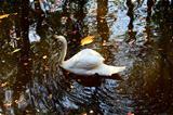 Alone white swan