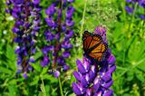 Butterfly on Lupin