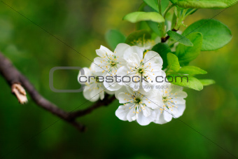 the blossom apple tree