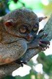 Bush Baby - Tarsier, Philippines